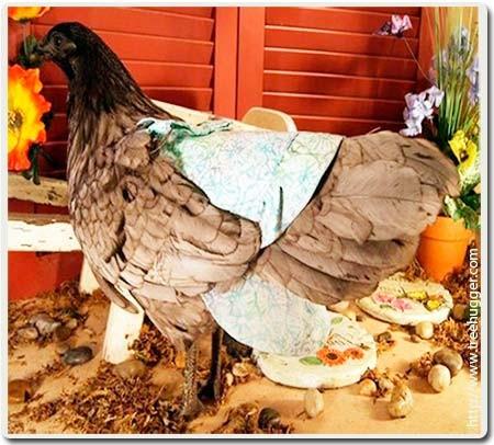 для выгула курицы