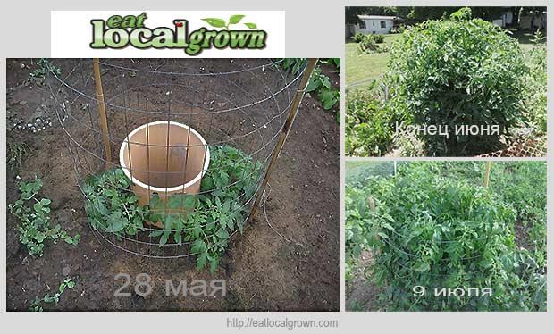 идея выращивания помидоров